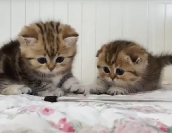 兄弟で遊ぶマンチカンの子猫