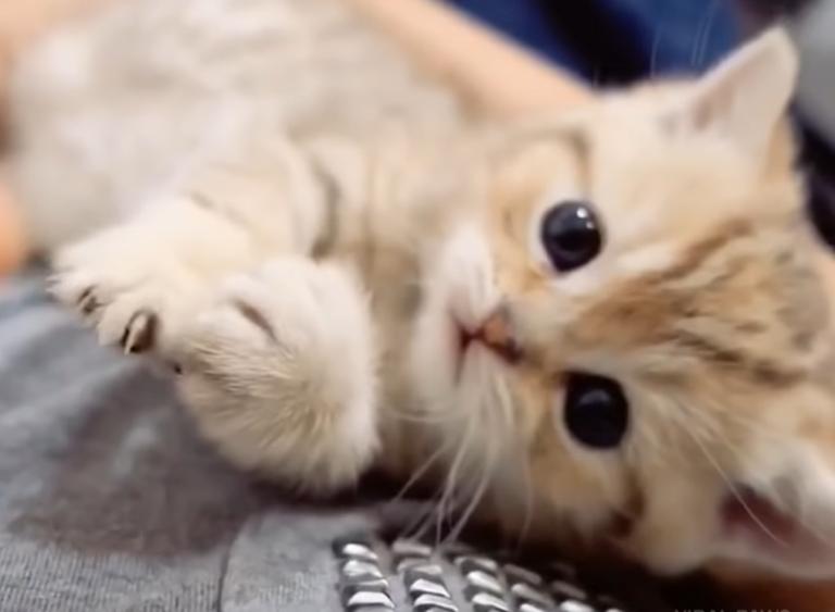 かわいいマンチカンの子猫