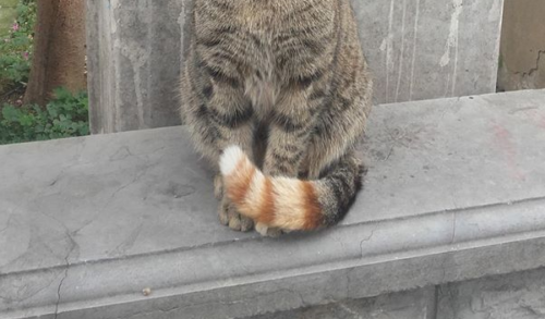 尻尾だけ色が違う猫