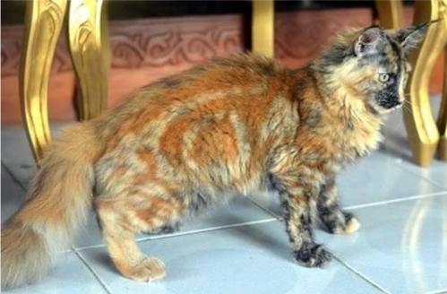 三毛猫で縞模様のある猫