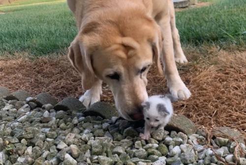 ラブラドールと子猫