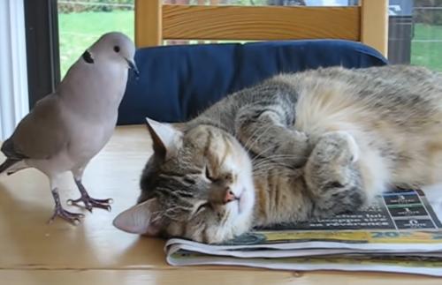 ウザイ鳩と寝ている猫