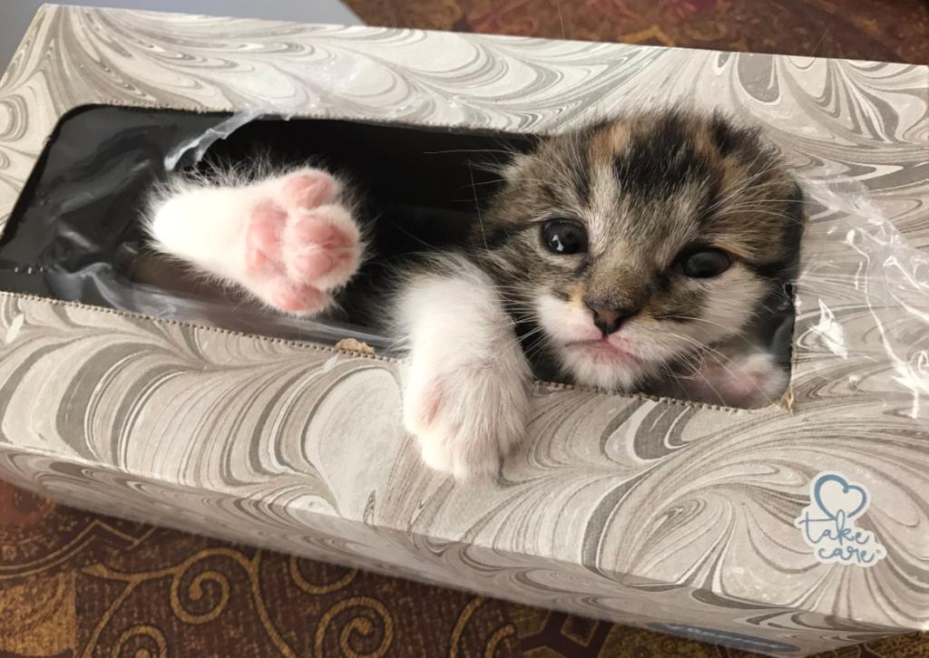 ティッシュ箱から出てきた子猫