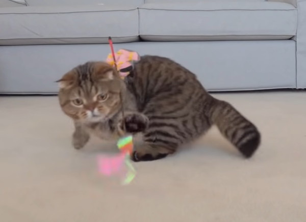 猫じゃらしにパンチする猫