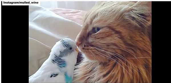 キスする猫とインコ