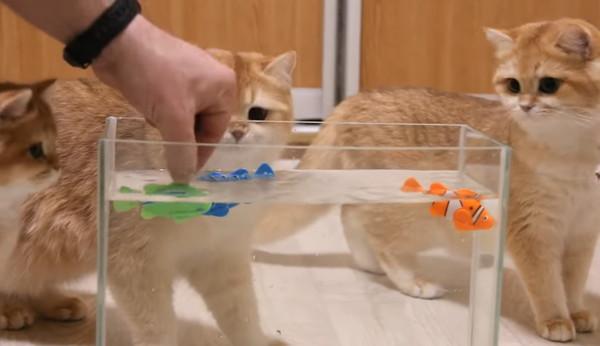おもちゃの魚を水槽に入れる猫の飼い主