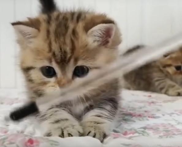 おもちゃを捕まえられないマンチカン子猫