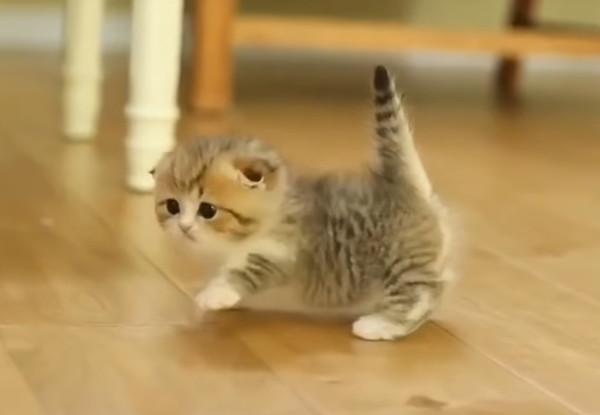 飼い主を追いかけるマンチカンの子猫