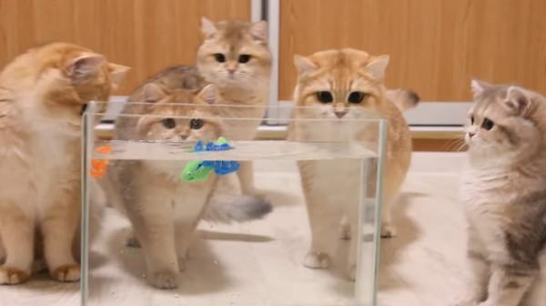 おもちゃの魚を見つめる猫