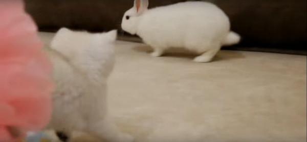 ウサギを見つめる子猫