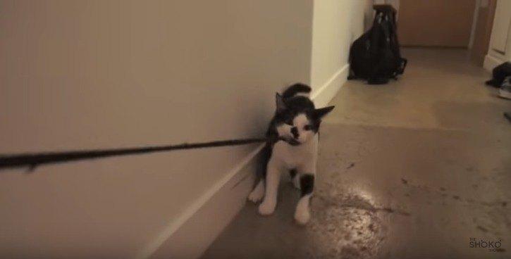 ひもを引っ張る猫