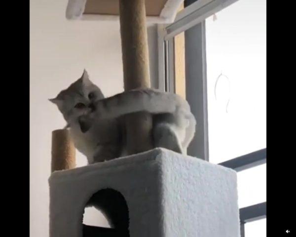 しっぽを咥えて回り始める猫