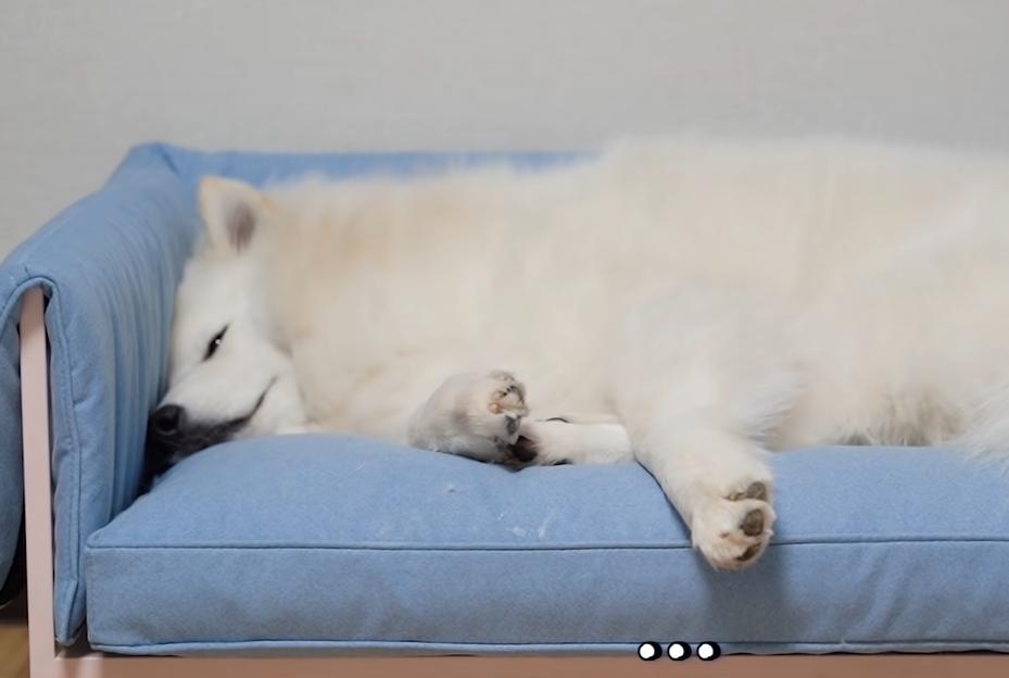 猫のベッドで寝る犬