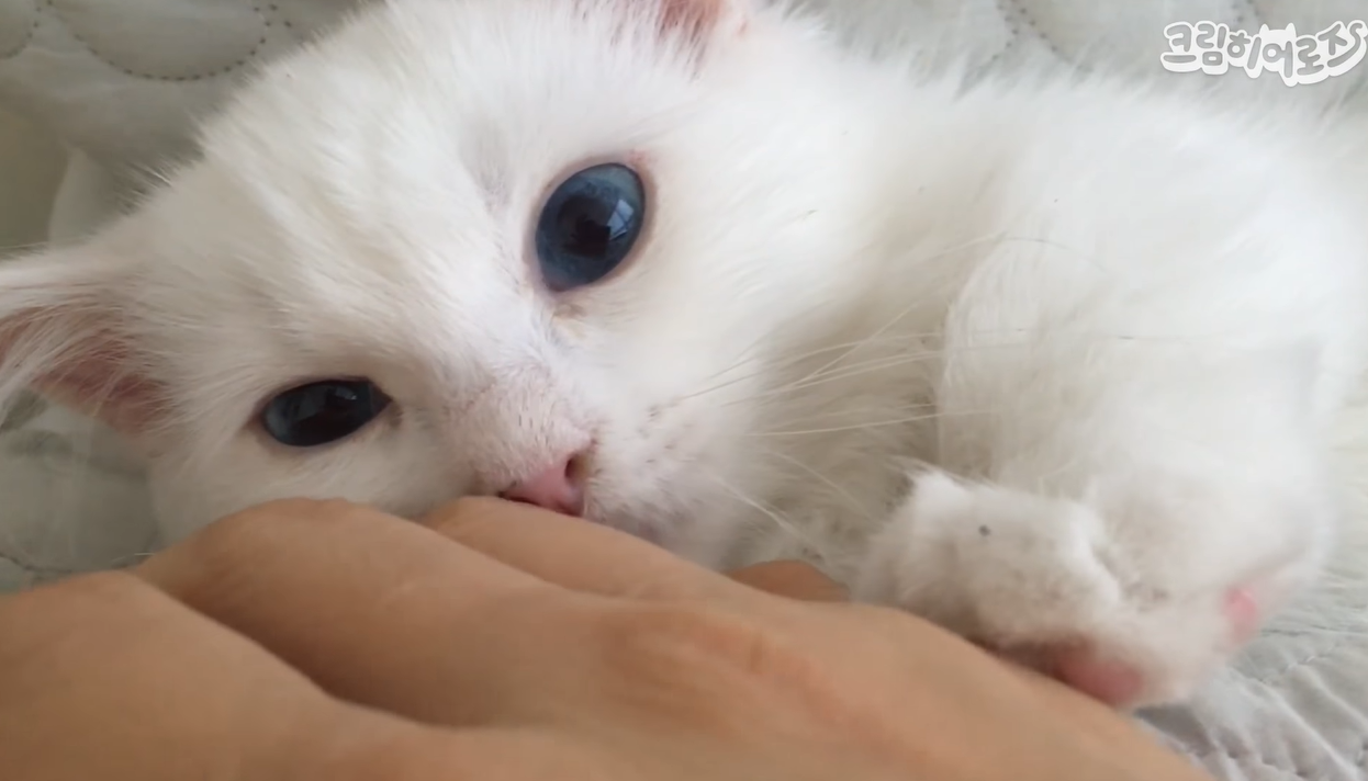 飼い主の手を触る子猫