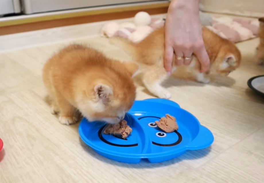 食べるより遊びたい子猫