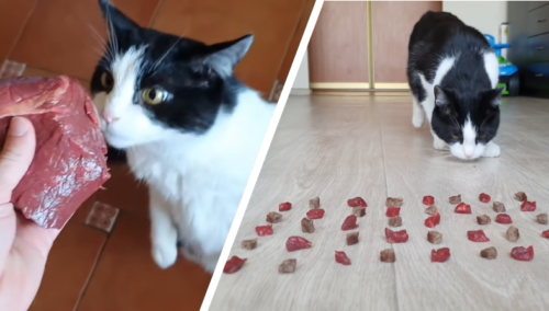 茹でた牛肉と生の牛肉を食べる猫