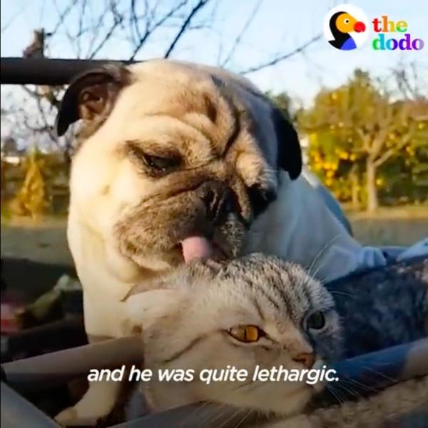 猫を舐めるパグ
