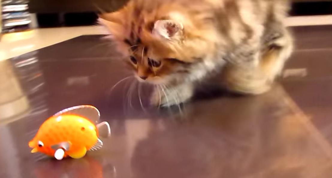 魚のおもちゃを観察する子猫