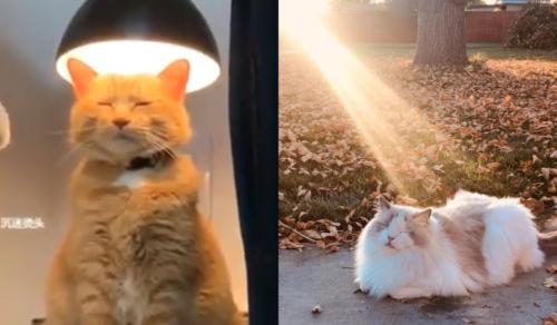 聖なる猫たち