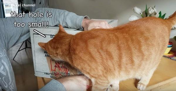 ダンボールを確認する猫