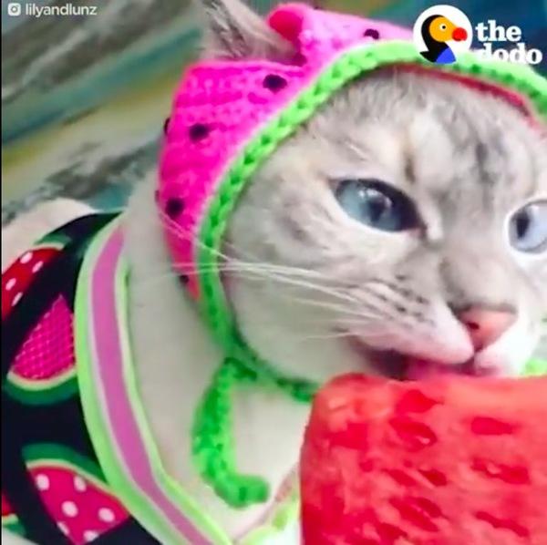 すいかを食べるコスプレ猫リリー