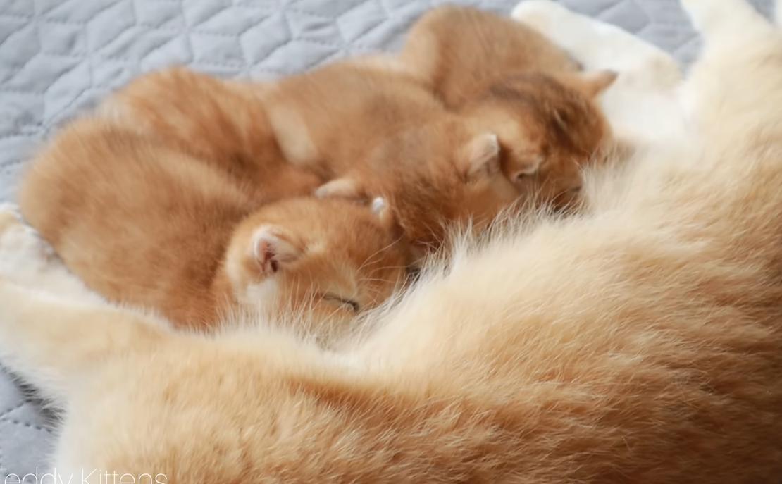 最後は母乳を飲む子猫