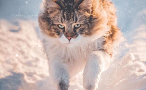 雪の王者の猫