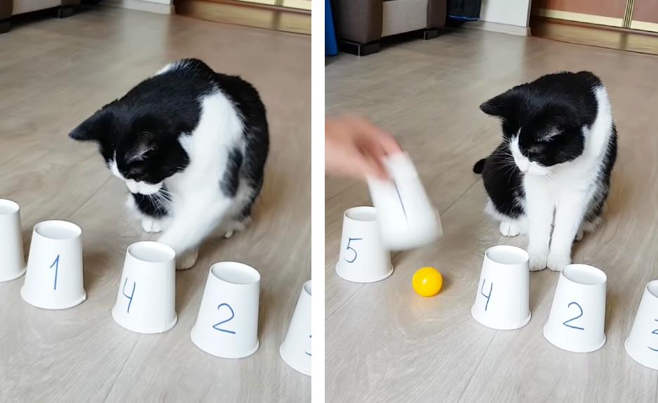 ボールの中を当てる猫