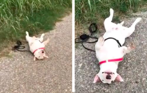 散歩で疲れて歩きたくない犬