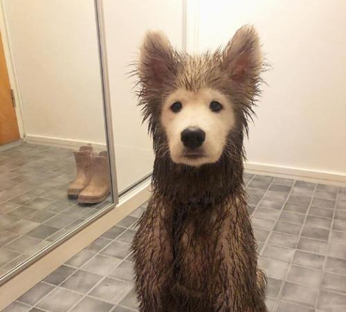 顔だけ泥がついていないサモエド