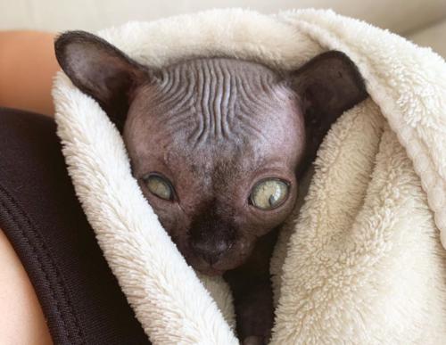 コウモリみたいな猫