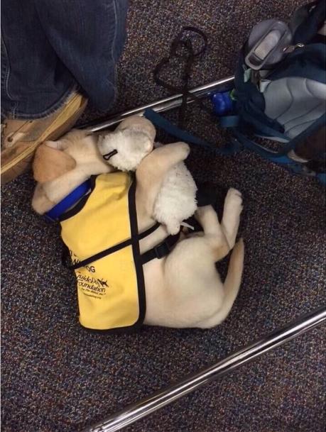 セラピードッグの子犬