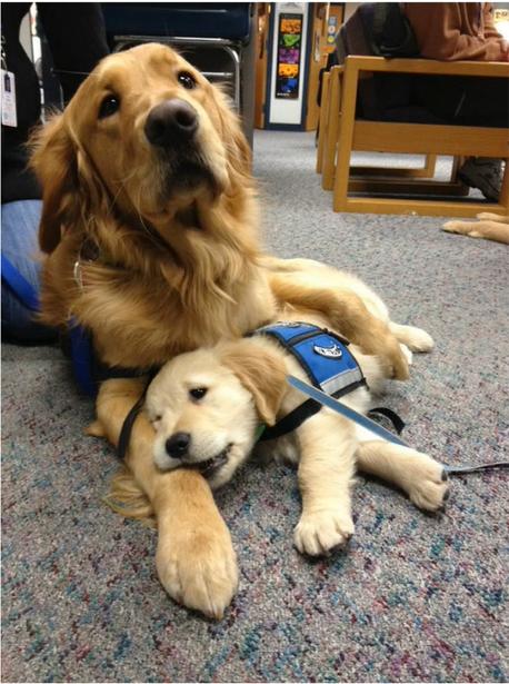 初出勤のセラピードッグの子犬