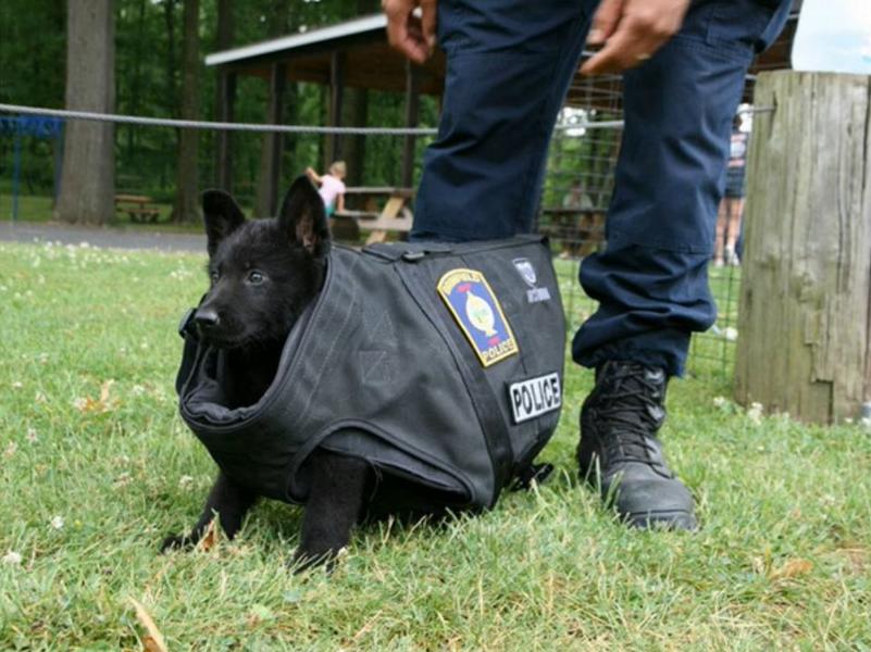 はじめて防弾チョッキを着た警察犬