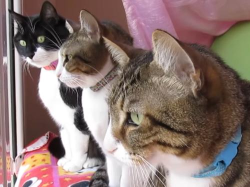 クラッキングする3匹の猫