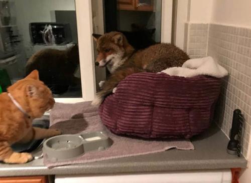 猫の寝床を奪ったキツネ