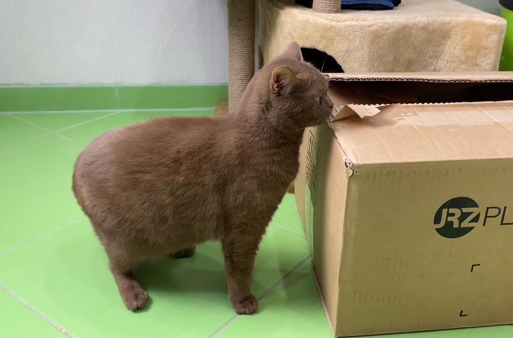 箱の中を見る猫