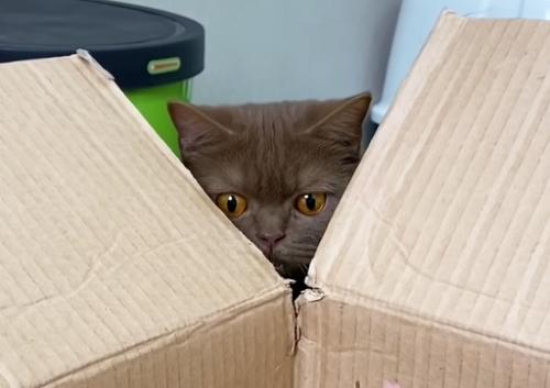 箱の中身を見てビックリする猫