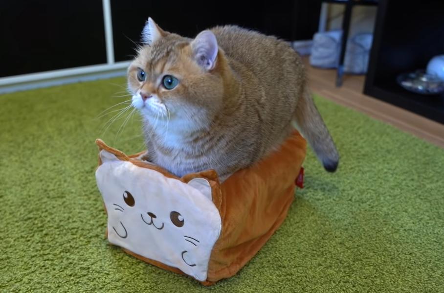食パンベッドに入りたい猫