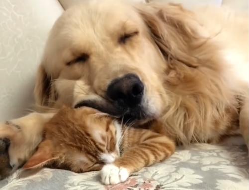 お昼寝をするゴールデンと子猫