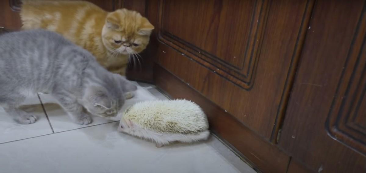 ハリネズミに触りたい猫