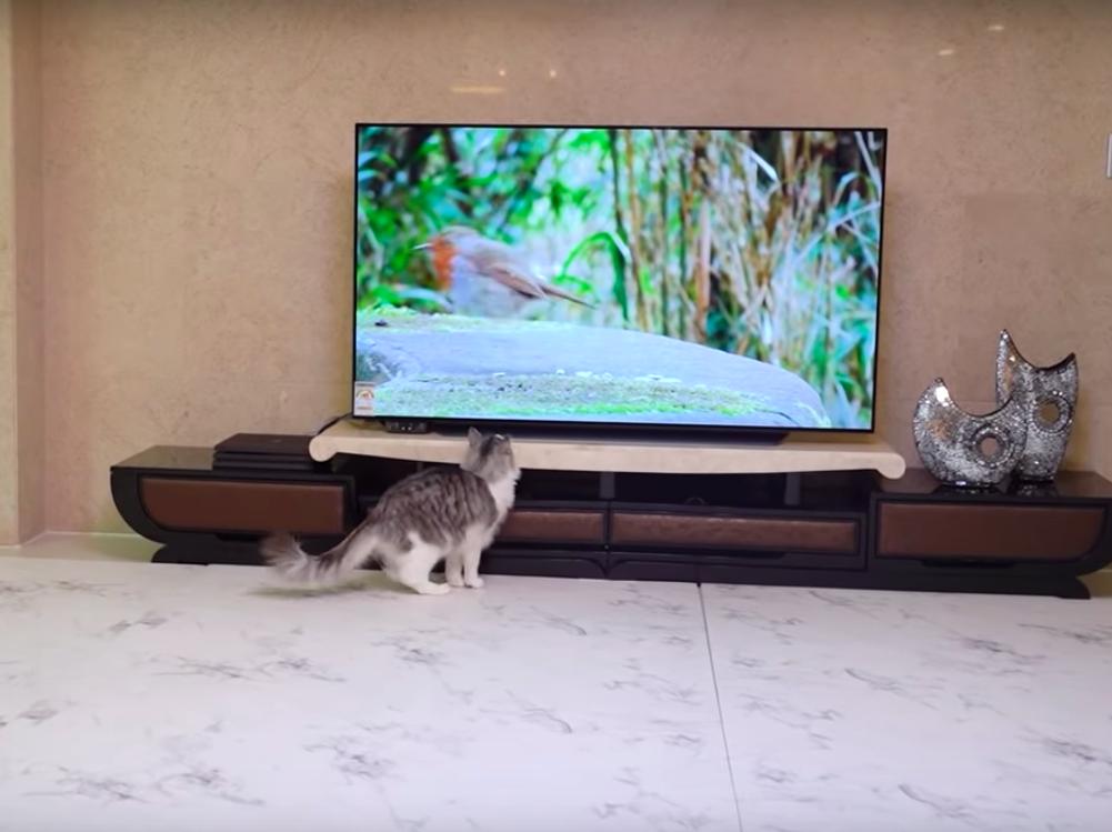 テレビの中の鳥を見つけた猫