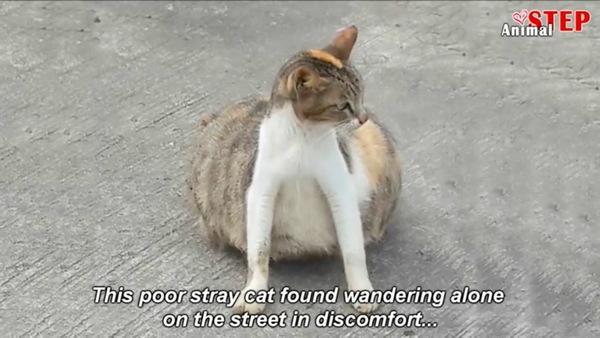 お腹が大きい猫