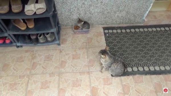 餌の箱に入った子猫を見る猫