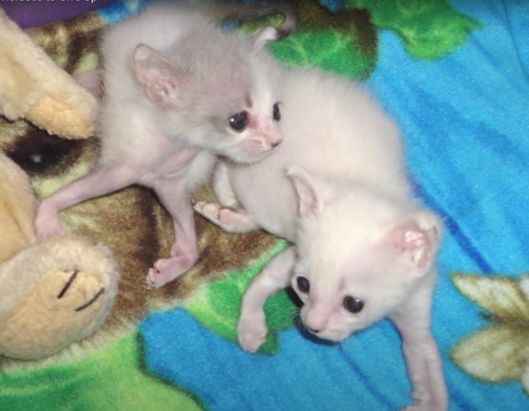 足が捻れた二匹の子猫