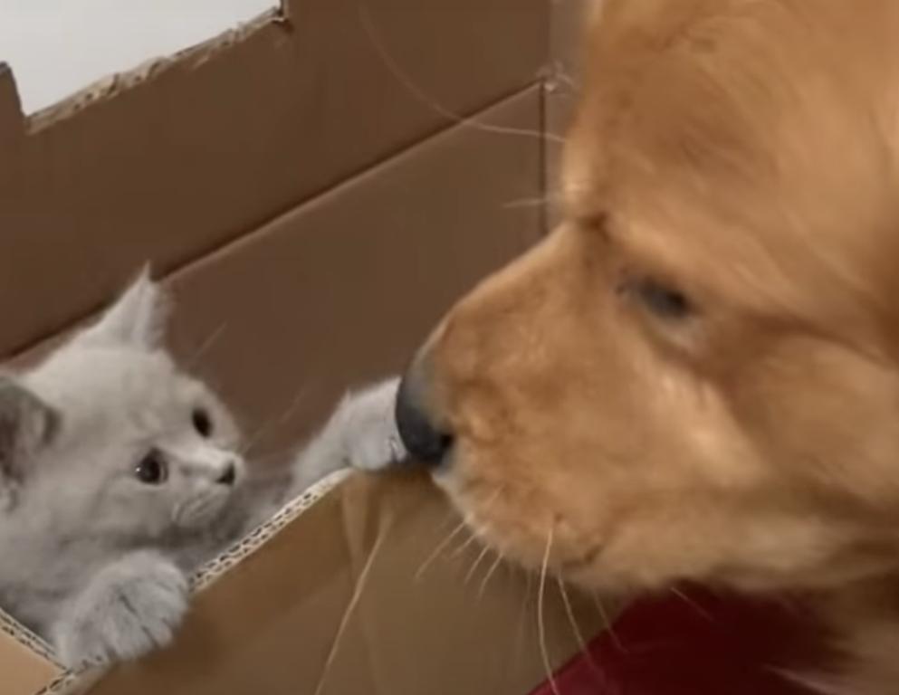 ゴールデンレトリーバーと子猫