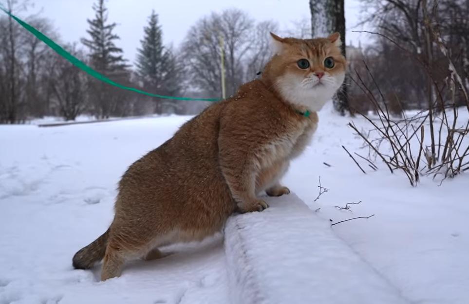 雪の街を見渡す猫のホシコ