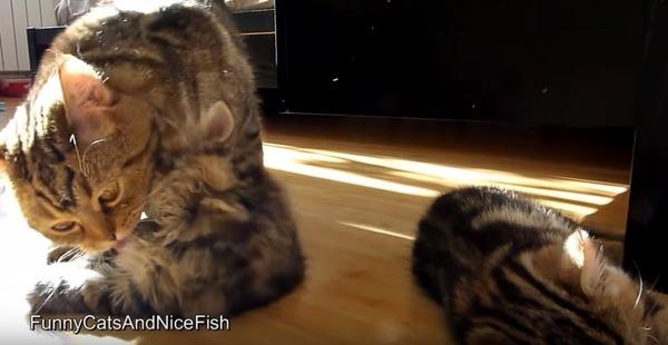 母猫に毛づくろいをしてもらう子猫たち