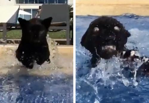 プールで溺れそうな黒豹の子供
