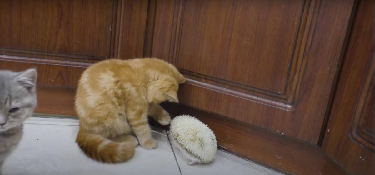 ハリネズミに触った猫